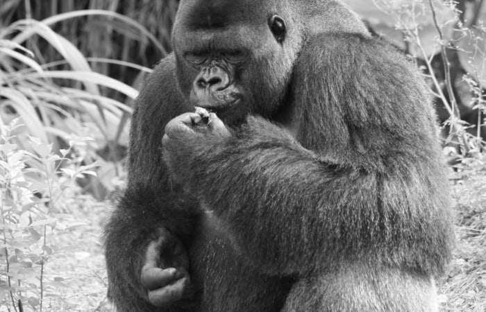 why gorillas shouldn't be your only concern this week feature
