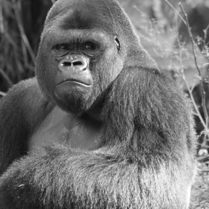 why there's more to be worried about than gorillas sq